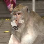 Monkey liking ice