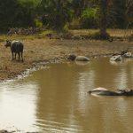 Kampot Fish Island buffalos