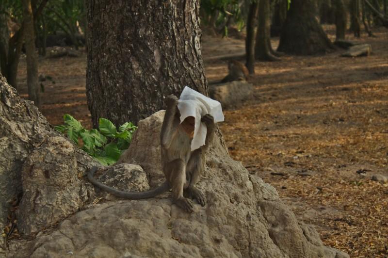 Monkey at Angkor Wat hiding his face